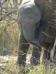 Un bébé éléphant.