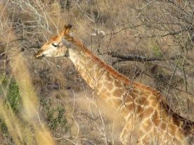 La girafe est vraiment un animal magnifique. Elle a l'ouïe tellement fine qu'elle nous regardait dès qu'on faisait un leger bruit même vitres fermées!